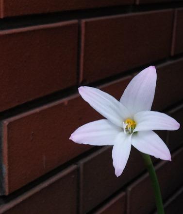 哀悼の白花